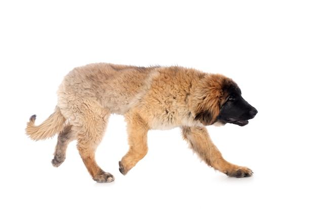 Puppy leonberger