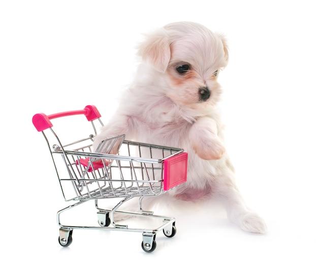 Puppy maltese hond