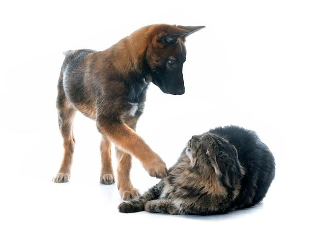 Puppy mechelaar en maine coon