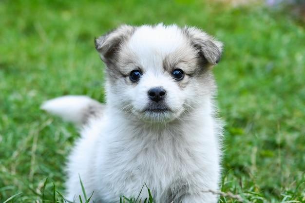 Puppy met grijze oren in het gras