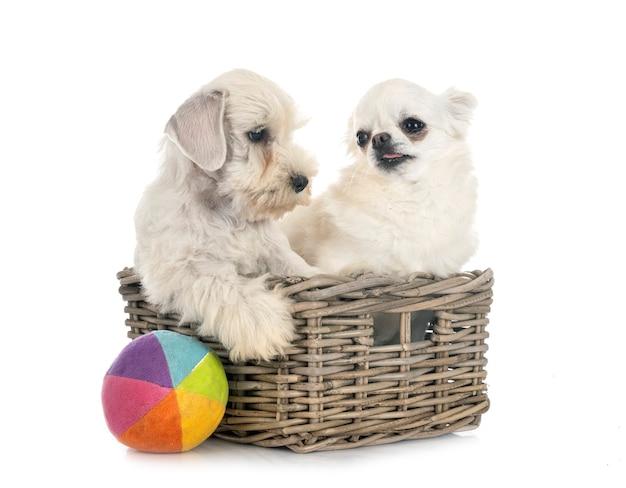 Puppy miniatuur schnauzer en chihuahua voor witte achtergrond