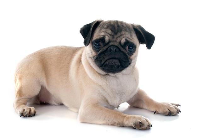 Puppy mopshond