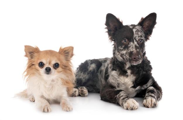 Puppy mudi en chihuahua op wit