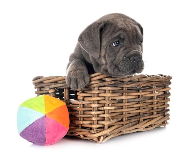 Puppy napolitaanse mastiff geïsoleerd op wit