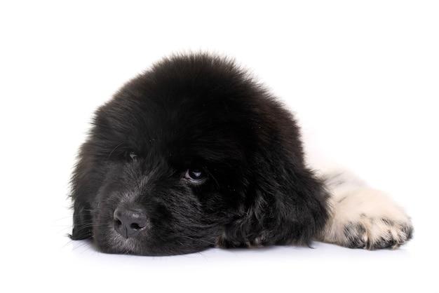 Puppy newfoundland hond voor wit