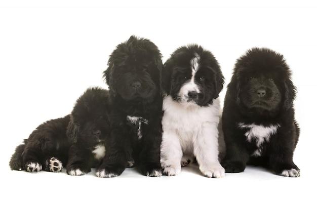 Puppy newfoundland hond
