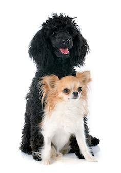 Puppy poedel en chihuahua