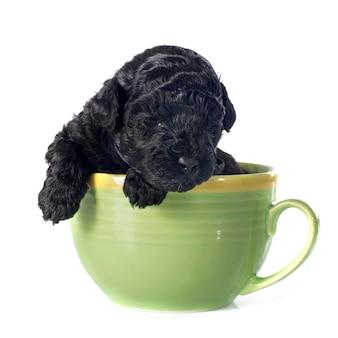 Puppy poedel