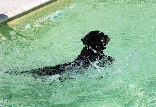 Puppy rottweiler bij zwembad in de zomer