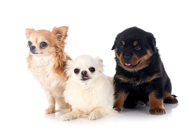 Puppy rottweiler en chihuahua voor witte achtergrond