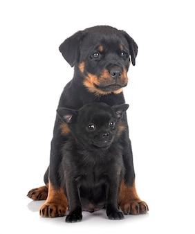 Puppy rottweiler en chihuahua Premium Foto