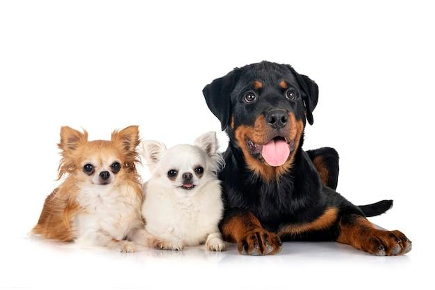 Puppy rottweiler en chihuahuas voor witte achtergrond