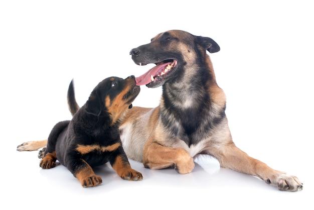 Puppy rottweiler en malinois voor witte achtergrond