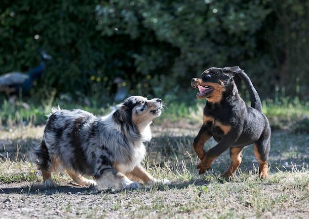 Puppy rottweiler spelen met australische herder in de natuur in de zomer