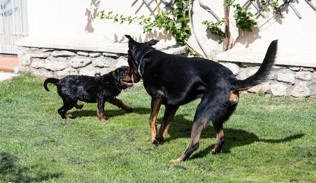 Puppy rottweiler spelen met een adulte beauceron