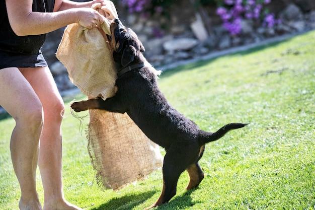 Puppy rottweiler training voor bescherming buiten
