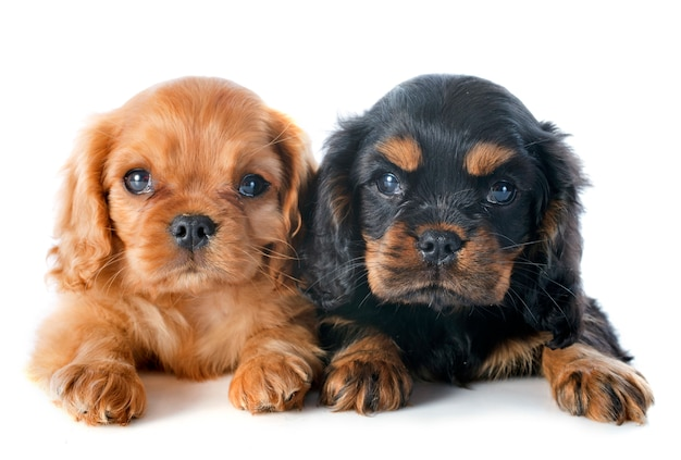 Puppy's cavalier king charles