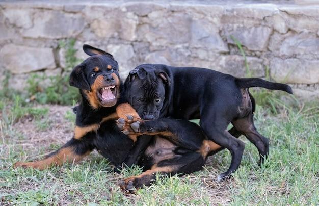 Puppy's staffordshire bull terrier en rottweiler spelen in een tuin