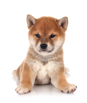 Puppy shiba inu geïsoleerd