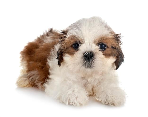 Puppy shih tzu geïsoleerd op wit