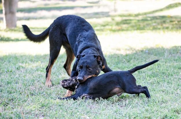 Puppy staffordshire bull terrier en beauceron spelen in een tuin