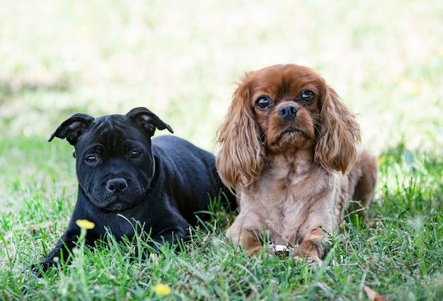 Puppy staffordshire bull terrier en cavalier king charles vrij in een tuin