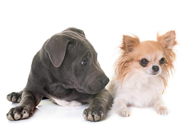 Puppy staffordshire bull terrier en chihuahua