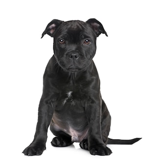 Puppy staffordshire bull terrier met 2 maanden. geïsoleerd hondportret