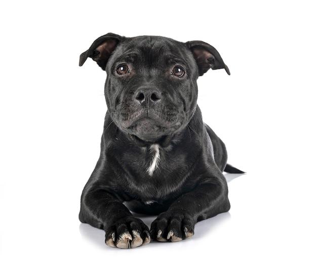 Puppy staffordshire-bulterriër voor witte achtergrond