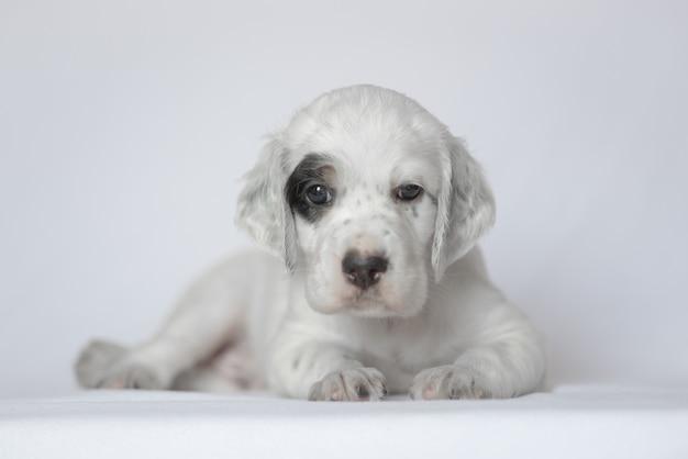 Puppy van de engelse setter