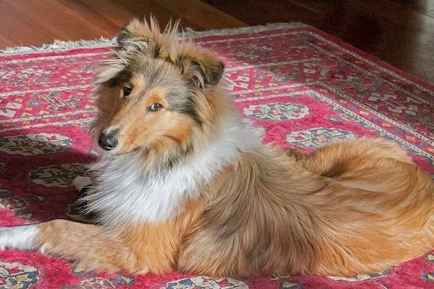 Puppy vrouwelijke ruwharige zwarte en sabelachtige raszuivere stamboom lassie collie op het tapijt