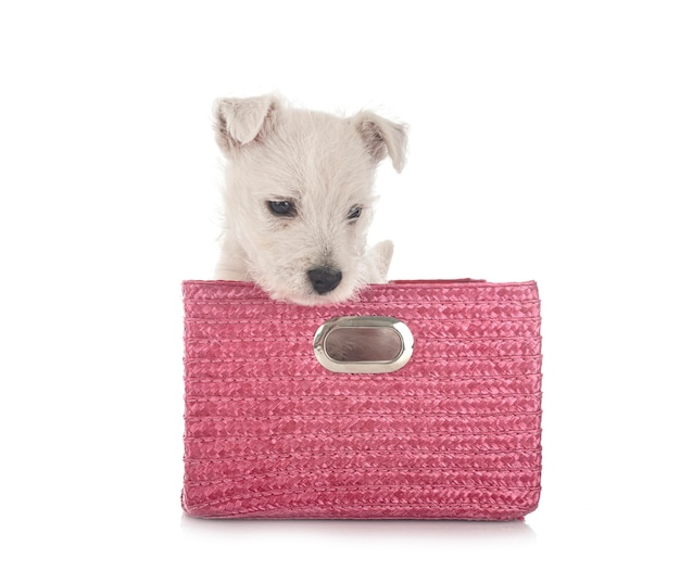 Puppy west highland white terrier voor witte achtergrond