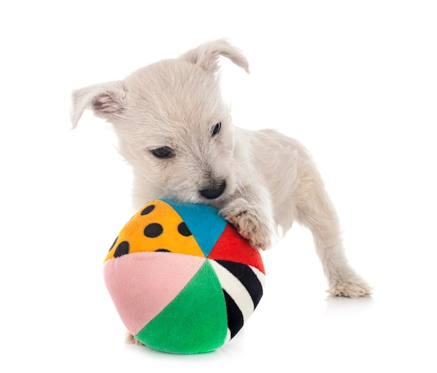 Puppy west highland white terrier vooraan