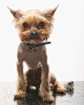 Puppy yorkshire terriër