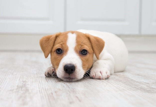 Puppy zittend op de vloer.
