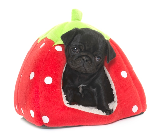 Puppy zwarte pug