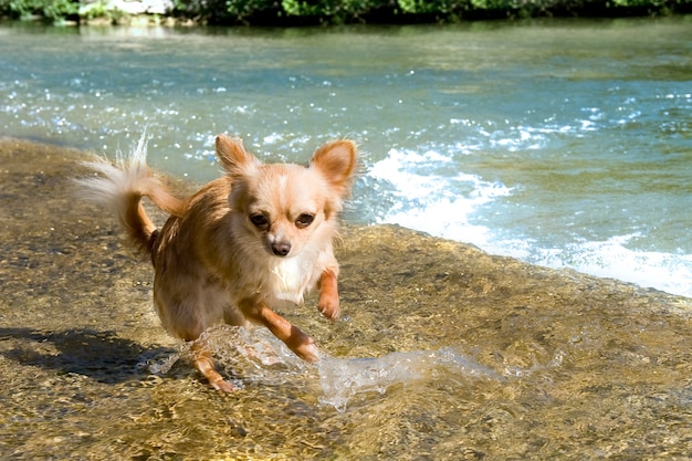 Puppychihuahua in de rivier