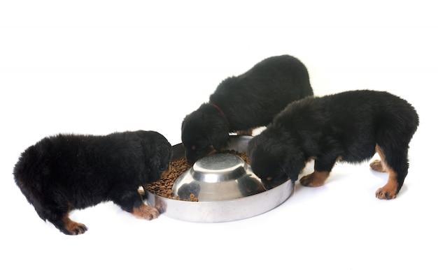 Pups rottweiler eten