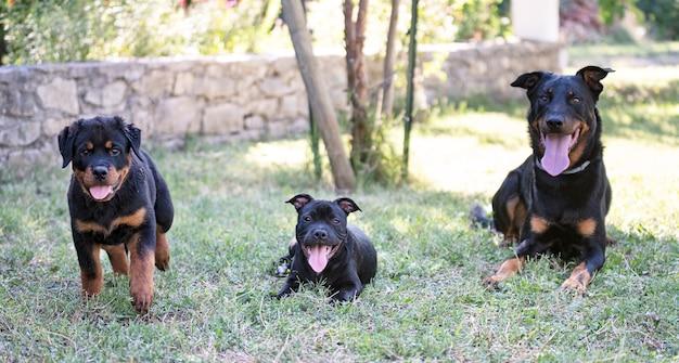 Pups staffordshire bull terrier, beauceron en rottweiler spelen in een tuin
