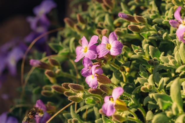 Purper bloemen aubrietia-close-up in aard