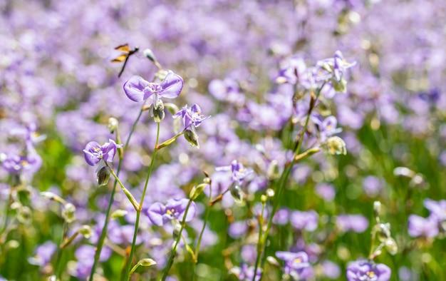 Purper bloemengebied, murdannia-giganteum.
