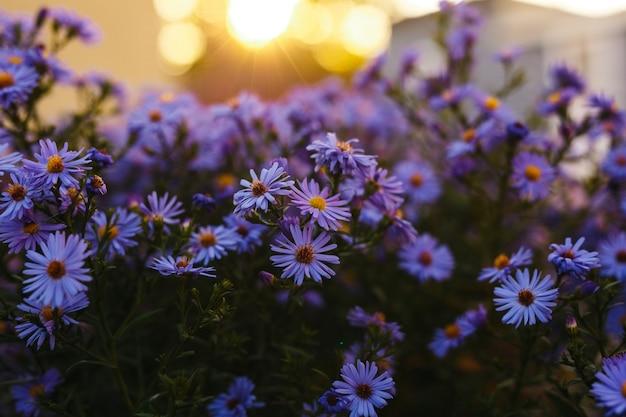 Purpere bloemen in aard met een zonsondergangachtergrond.