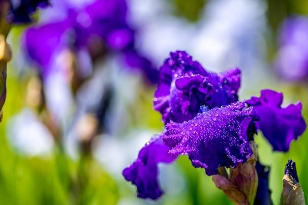 Purpere bloemiris die in een tuin bloeien