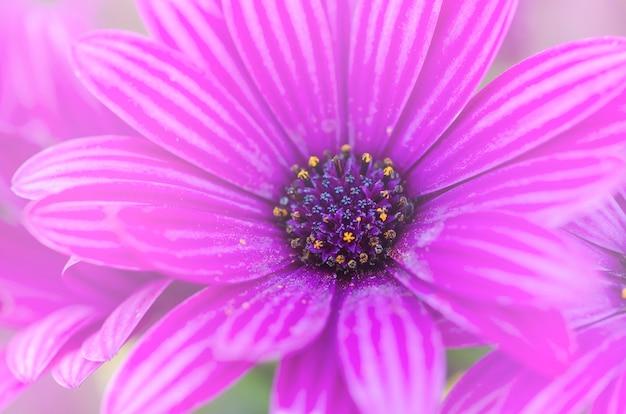 Purpere chrysant met vage patroonachtergrond