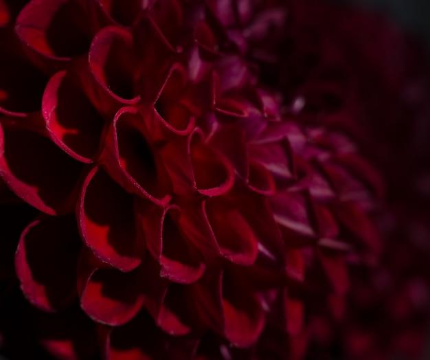 Purpere dahlia's bloeien over zwarte achtergrond. dieprode herfstbloem.