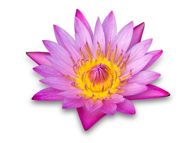 Purpere die lotusbloembloem op wit wordt geïsoleerd