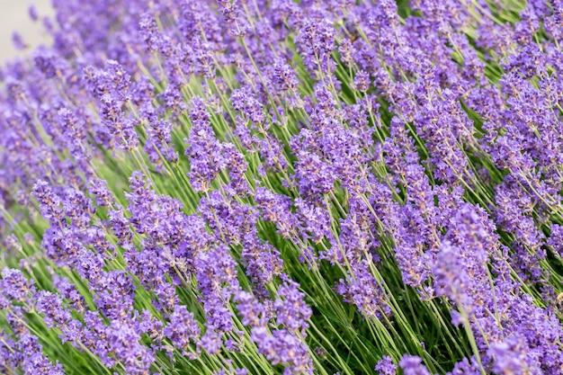 Purpere, geurige en bloeiende knoppen van lavendelbloemen op een zonnige dag.