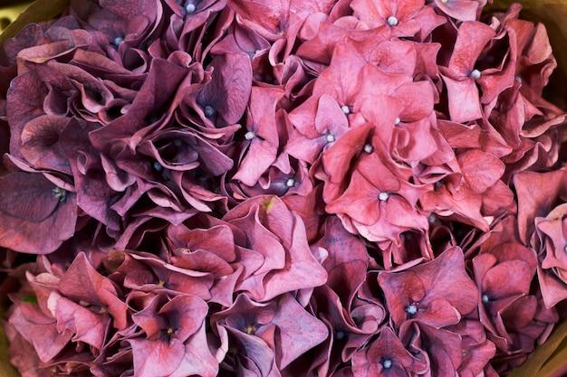 Purpere hydrangea hortensia stevige natuurlijke bloemen als achtergrond,
