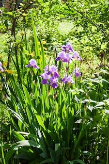 Purpere irisbloemen in tuin in zonnige dag