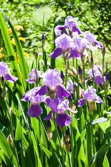 Purpere irisbloemen op groene tuin in zonnige dag